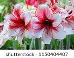 amarylis flower  full bloom in... | Shutterstock . vector #1150404407