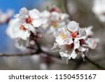 almond trees blossoms... | Shutterstock . vector #1150455167