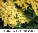 Yellow Lxora Flowers With Gree...