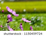 cosmos flowers and paddy field... | Shutterstock . vector #1150459724