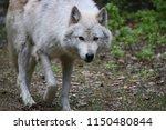 grey wolf. golden  british... | Shutterstock . vector #1150480844