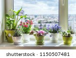 house plants on window.  cactus ... | Shutterstock . vector #1150507481