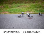 pigeon eating food on a... | Shutterstock . vector #1150640324