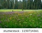 dazzling  lush field of meadow...   Shutterstock . vector #1150714361