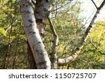 entwined birch trees with the... | Shutterstock . vector #1150725707