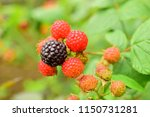 spices blackberry on a branch.... | Shutterstock . vector #1150731281