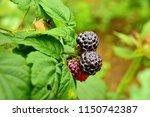 blackberries on the bush.... | Shutterstock . vector #1150742387