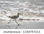 willet  tringa semipalmata  on... | Shutterstock . vector #1150747211