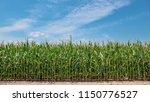 a field of ripe corn | Shutterstock . vector #1150776527