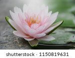 Soft Pink Waterlily Lotus...