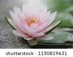 Soft Pink Waterlily Lotus...