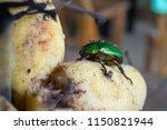 sternocera aequisignata...   Shutterstock . vector #1150821944