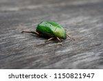 sternocera aequisignata...   Shutterstock . vector #1150821947