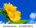 Sunflowers And Summer Blue Sky