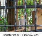 white cockatiels bird stand in... | Shutterstock . vector #1150967924