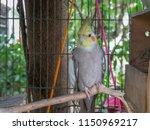 white cockatiels bird stand in... | Shutterstock . vector #1150969217