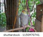 white cockatiels bird stand in... | Shutterstock . vector #1150970741