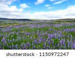 Icelandic Purple Lupine Field...