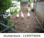 white goose standing on the... | Shutterstock . vector #1150974044
