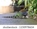 green iguana lat. iguana iguana ...   Shutterstock . vector #1150978634