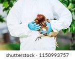 Vet doctor examining chicken. ...