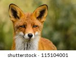 Portrait Of A Red Fox  Vulpes...