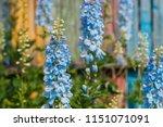 Big Flower Delphinium. High...