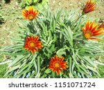 beautiful colorful flowers   Shutterstock . vector #1151071724