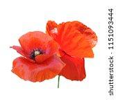 beautiful red poppy. bloom of...   Shutterstock .eps vector #1151093444