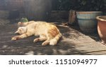 Stock photo cute ginger cat stretched out and relaxing on terrace in the garden 1151094977