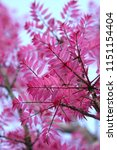 the most beautiful bright pink... | Shutterstock . vector #1151154404