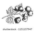 cotton branch engraving vector... | Shutterstock .eps vector #1151157947