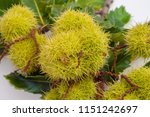 Sweet Chestnut Pods And...