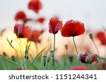 beautiful red poppies flowers... | Shutterstock . vector #1151244341