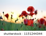 beautiful red poppies flowers... | Shutterstock . vector #1151244344