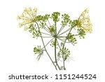 fresh dill flowers on white...   Shutterstock . vector #1151244524