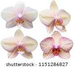 orchids isolated on white... | Shutterstock . vector #1151286827