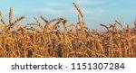 ripe ears of wheat lit by the...   Shutterstock . vector #1151307284