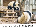 two cute young giant pandas....   Shutterstock . vector #1151345837