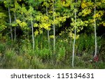 Several Birch Or Aspen Trees In ...