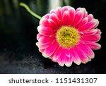 pink gerbera on back background ... | Shutterstock . vector #1151431307