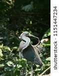 a great blue heron with mating... | Shutterstock . vector #1151447234