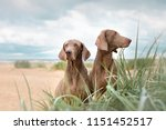 Two Weimaraners Sit On The Sand