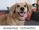 happy golden dog. | Shutterstock . vector #1151462921