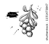 cranberry vector drawing.... | Shutterstock .eps vector #1151473847