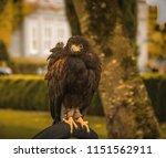 Falcon   Falconry At Dromoland...