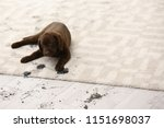 cute dog leaving muddy paw... | Shutterstock . vector #1151698037
