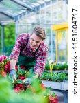 dedicated handsome florist... | Shutterstock . vector #1151804717