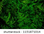 Small photo of Green leaves background. Green leaves color tone dark in the morning. Textures , dark tone , Photo concept nature and plant.