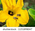flower of zucchini with bees.... | Shutterstock . vector #1151898047